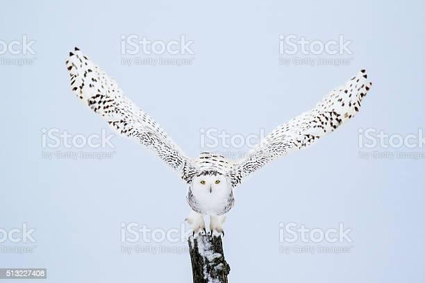 Snowy owl bubo scandiacus picture id513227408?b=1&k=6&m=513227408&s=612x612&h=lsm9qempb7ebi3uhr3mdkw4fqpvikdvkahatei 72eo=
