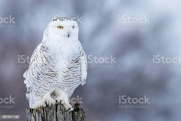 Snowy owl bubo scandiacus picture id537321182?b=1&k=6&m=537321182&s=612x612&h=m  qqkvj6jrisfo7d knziaevfk3a4cwfvpqyyeii 0=