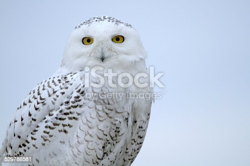 Up close and personal with a snowy owl... and room for text!
