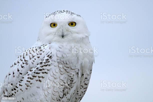 Snowy owl bust picture id529786581?b=1&k=6&m=529786581&s=612x612&h=8flcdl4oxsjwgfehlseduhgf7sxvev9qdjtagarjs1q=