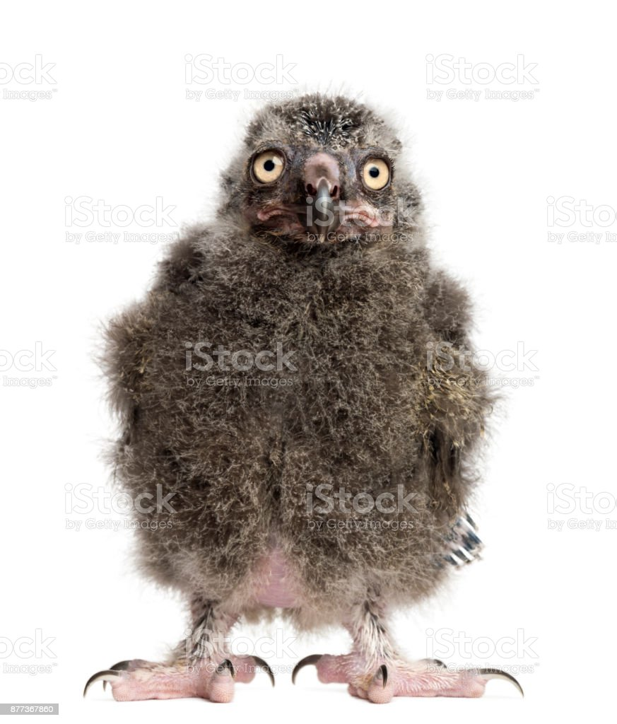 Snowy Owl chick, Bubo scandiacus, 19 days old against white background stock photo