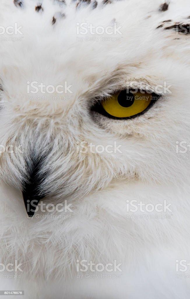 Snowy Owl close Up stock photo
