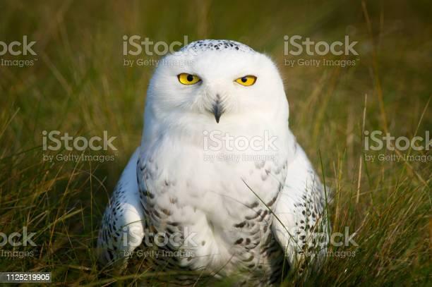 Snowy owl closeup portrait picture id1125219905?b=1&k=6&m=1125219905&s=612x612&h=rabzc01ook6paruz1230exmrtgtlwoy3osnnkyrjfao=