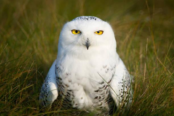 Snowy owl closeup portrait picture id1125219905?b=1&k=6&m=1125219905&s=612x612&w=0&h=30wz9 l5ti1laaeah uwpbqsebmcjazynq9 mdiqaa4=