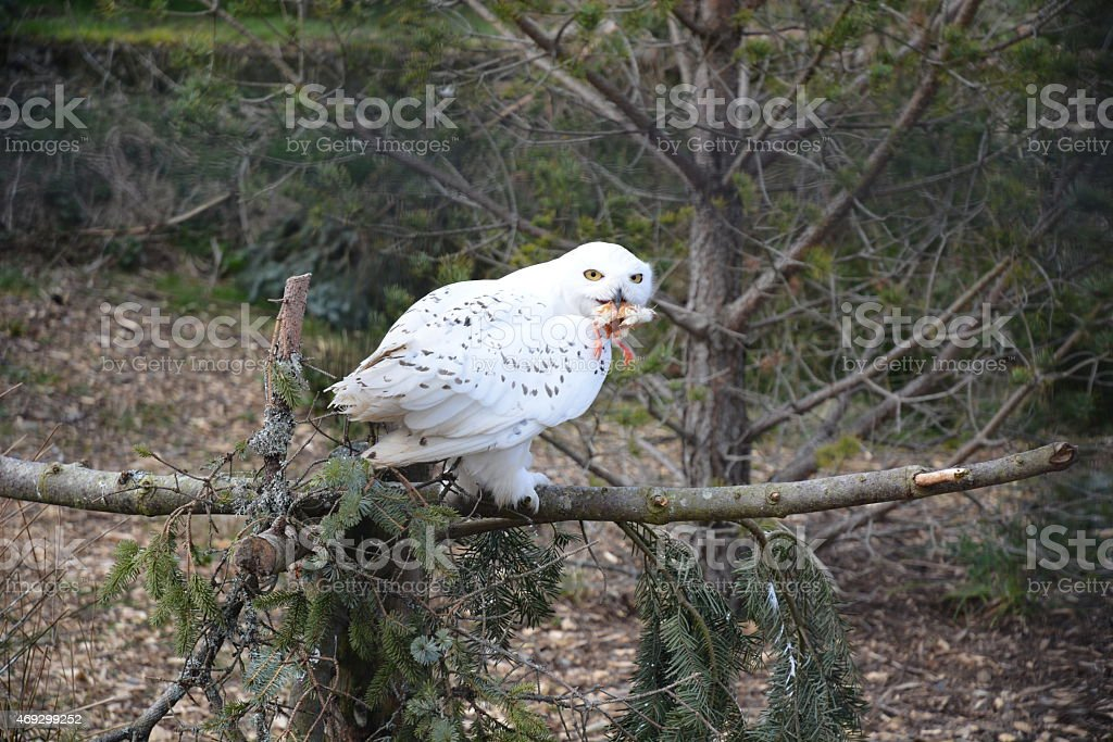 Snowy Owl eating Chick stock photo