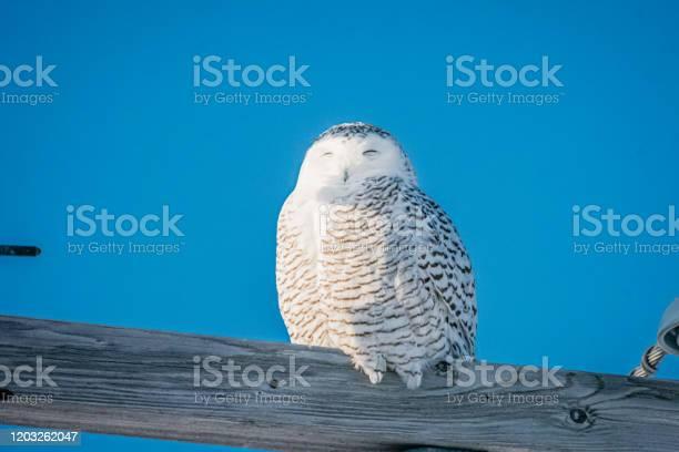 Snowy owl electricity picture id1203262047?b=1&k=6&m=1203262047&s=612x612&h=0ll3yxjv9e99 pio6mehmagfkq0 t 5ffpgpjdcbply=