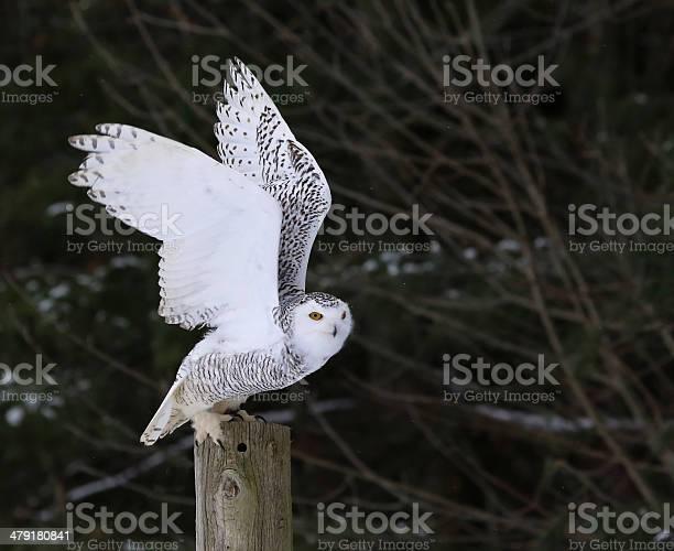 Snowy owl flapping its wings picture id479180841?b=1&k=6&m=479180841&s=612x612&h=dxjqykpxs07d9 e0ls9vq1xph tusiwppaput73lvcu=