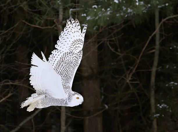 Snowy Owl Flying By stock photo