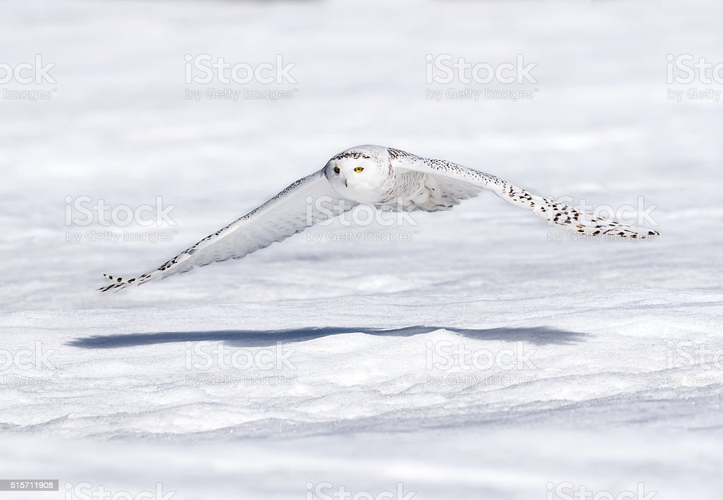Snowy Owl Flying Low stock photo