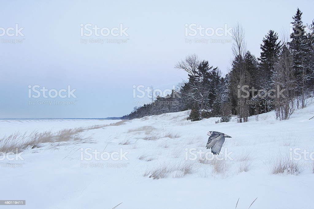 Snowy Owl Flying Over Frozen Beach royalty-free stock photo