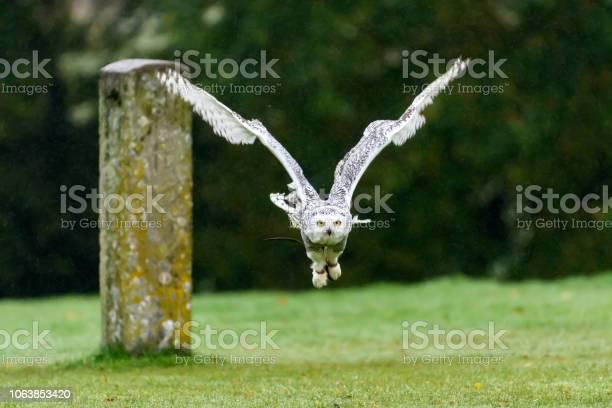 Snowy owl flying picture id1063853420?b=1&k=6&m=1063853420&s=612x612&h=ytb4nbpsyaw ndou8biwkf0wcemfv v9wtefj54 2w8=