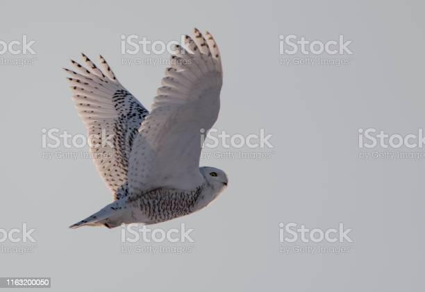 Snowy owl flying picture id1163200050?b=1&k=6&m=1163200050&s=612x612&h=zdvolfbangcm phxi1kuarjngsoavtwqe vrbnrdmls=
