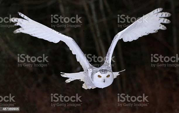 Snowy owl flying right at you picture id487389905?b=1&k=6&m=487389905&s=612x612&h=lsfb5nxhet7tfuuroqlc ko5kth jgjnqy6itihknf0=