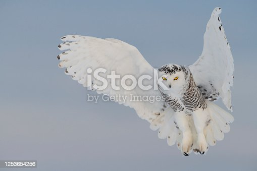 Snowy owl, bubo scandiacus, flying on a clear day. White spread wings like an angel. Quebec's official bird. Vulnerable specie.