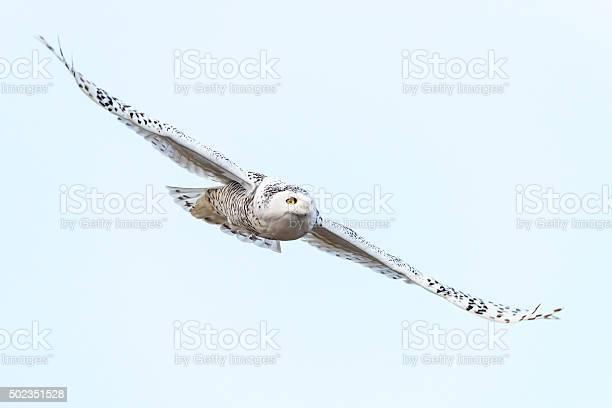 Snowy owl in flight bubo scandiacus bird in canada picture id502351528?b=1&k=6&m=502351528&s=612x612&h=6r45gshsdu5h9n8ox17dsnnfpejbeywf5e jlovlvhu=