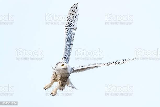 Snowy owl in flight bubo scandiacus bird in canada picture id502351764?b=1&k=6&m=502351764&s=612x612&h=vwf0psfdp1rbuaurnoyhu6voji1sgf1yzqke3v4gsma=