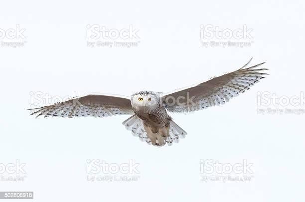 Snowy owl in flight bubo scandiacus bird in canada picture id502808918?b=1&k=6&m=502808918&s=612x612&h=opk3qvvmptg lqiotgt91lj4iovjv8 bvheh6ik6fxc=