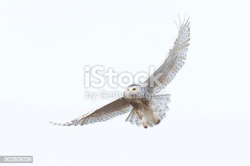 Snowy Owl in flight, Bubo scandiacus. Bird in Canada.