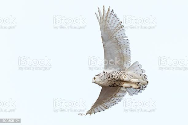 Snowy owl in flight bubo scandiacus bird in canada picture id502809124?b=1&k=6&m=502809124&s=612x612&h=eqssujvng e lbs tuhxdkopieisaamz2ubekzi2ycs=