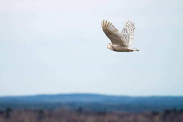 Snowy owl in flight bubo scandiacus bird in canada picture id502809862?b=1&k=6&m=502809862&s=612x612&w=0&h=r0opjp2x0dmercznsdah eql768ezwxkk wkdquytnq=