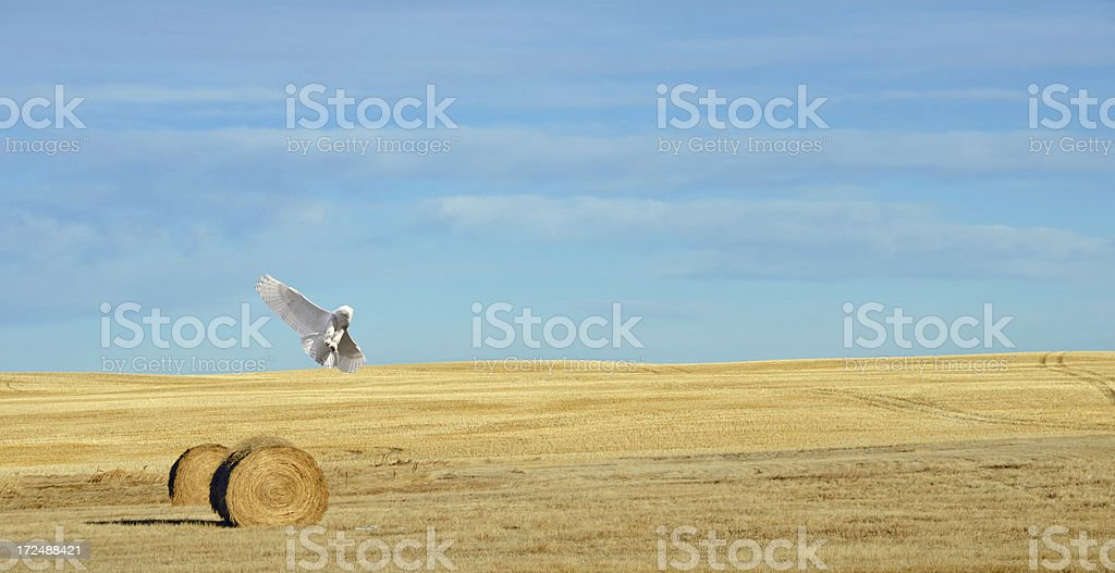 Snowy Owl in flight on sunny day. royalty-free stock photo
