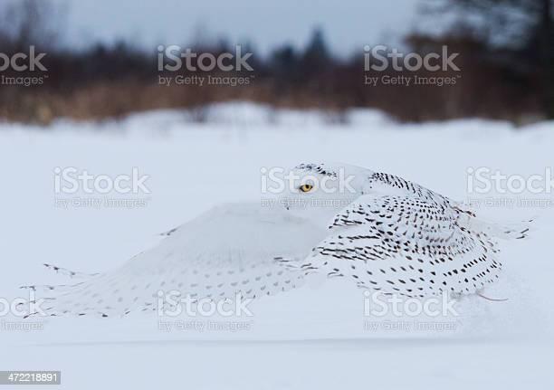 Snowy owl in flight over northern minnesota picture id472218891?b=1&k=6&m=472218891&s=612x612&h=j9u2 fouesdcpcyxlhdwenjzxkwzjrqgknlm5wtrcwo=