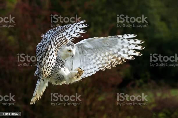 Snowy owl in flight picture id1183943470?b=1&k=6&m=1183943470&s=612x612&h=ifehf06tbctexiggn2bhlwmmdl hqlzfr0o3h5qltka=
