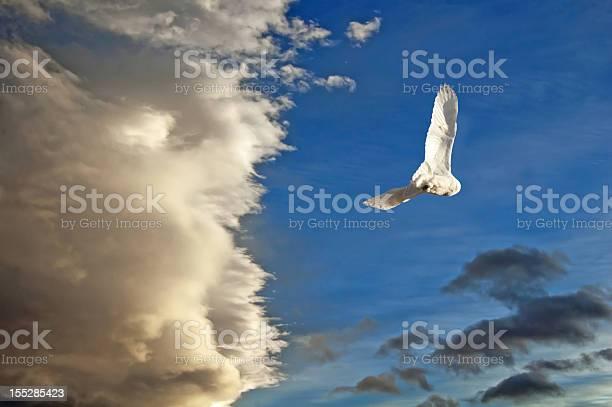 Snowy owl in flight picture id155285423?b=1&k=6&m=155285423&s=612x612&h=miok  kdgaqvbes5tjvnwt0pmv8eqxhndcaxl7n0 9o=
