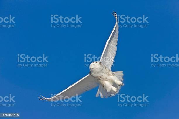 Snowy owl in flight picture id470348715?b=1&k=6&m=470348715&s=612x612&h=ueqnlsvy osukphururujecry70uxod f5jjrxkyzim=