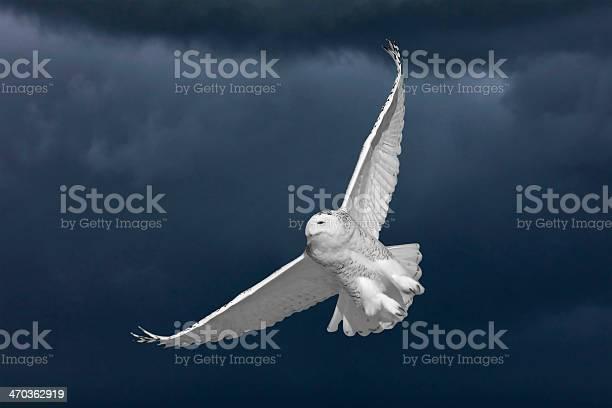 Snowy owl in flight picture id470362919?b=1&k=6&m=470362919&s=612x612&h=r4ccnvcnnpth6i9gbmhknttmrbmmz2mhhi6fmnnsv8q=