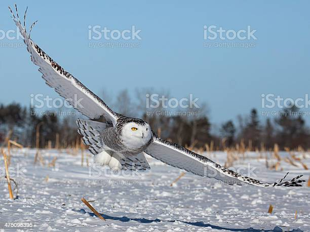 Snowy owl in flight picture id475098395?b=1&k=6&m=475098395&s=612x612&h=q 0thrq79tf77 ajzjw1 orr4a r640orhyxw2densi=