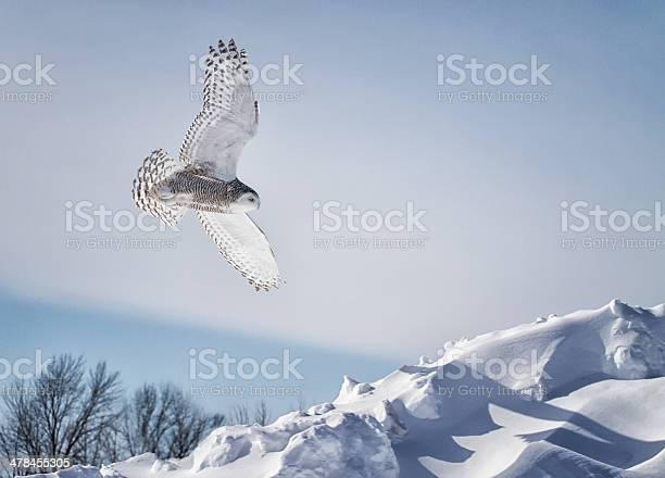 Snowy owl in flight picture id478455305?b=1&k=6&m=478455305&s=612x612&h=zybvxxuzekvxq74ewjoa4luhlsff3yjnd7h4l2h4roa=