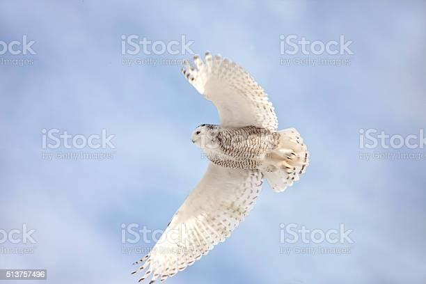 Snowy owl in flight picture id513757496?b=1&k=6&m=513757496&s=612x612&h=zndlthynoxqm4ithmhucof j9iiewqbtgdplsryu8ao=