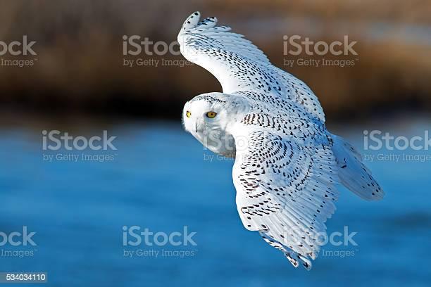 Snowy owl in flight picture id534034110?b=1&k=6&m=534034110&s=612x612&h=3nybe59wh2k ap40khsk6inquk7nlvcxhpbanwsupcm=