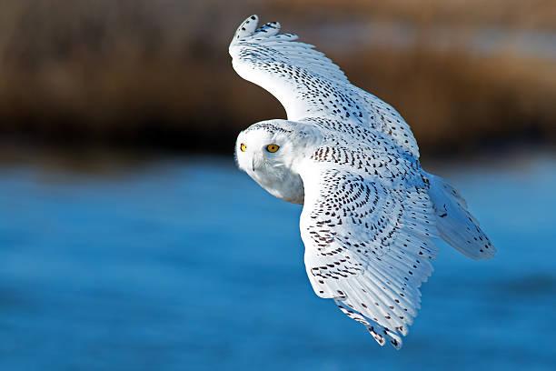 Snowy owl in flight picture id534034110?b=1&k=6&m=534034110&s=612x612&w=0&h=s3kmkw8izshtu5vfokxvrolujn63yh yjfc3v 3jb1c=