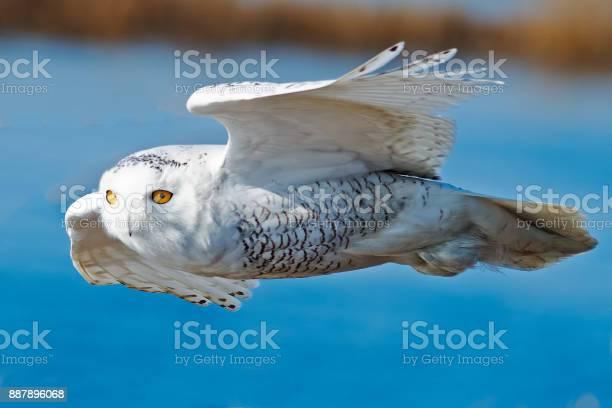 Snowy owl in flight picture id887896068?b=1&k=6&m=887896068&s=612x612&h=r02o33zmvvgd7vl616dcw7nw 6itp4wqaoqluz2nu3o=