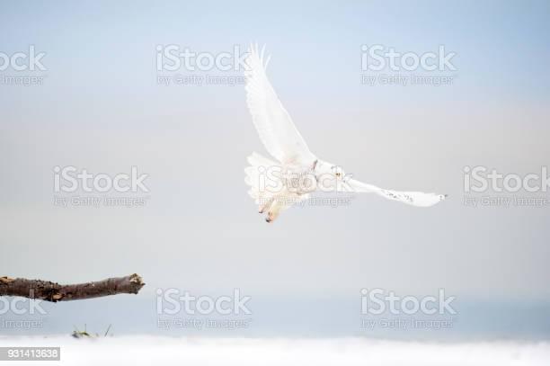 Snowy owl in flight picture id931413638?b=1&k=6&m=931413638&s=612x612&h=y hlvq2cadlu8lkhnknn5 cgf3j4gvnqv9qm25hthoa=