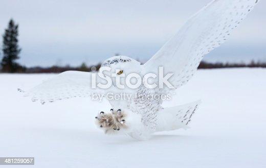 Snowy owl landing on a bog in Northern Minnesota.