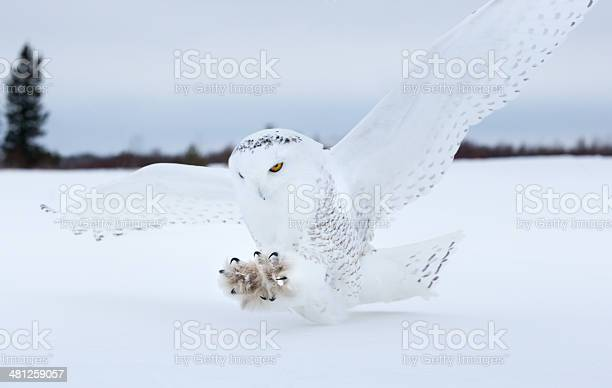 Snowy owl landing in northern minnesota picture id481259057?b=1&k=6&m=481259057&s=612x612&h=4x0echiikmrlmdegsnofgodrd9wxg4k  fxl78aylmc=