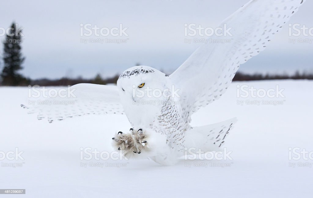Snowy owl landing in Northern Minnesota. stock photo