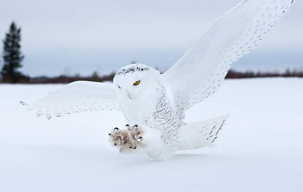 snowy owl landing in northern minnesota. - owl stock photos and pictures