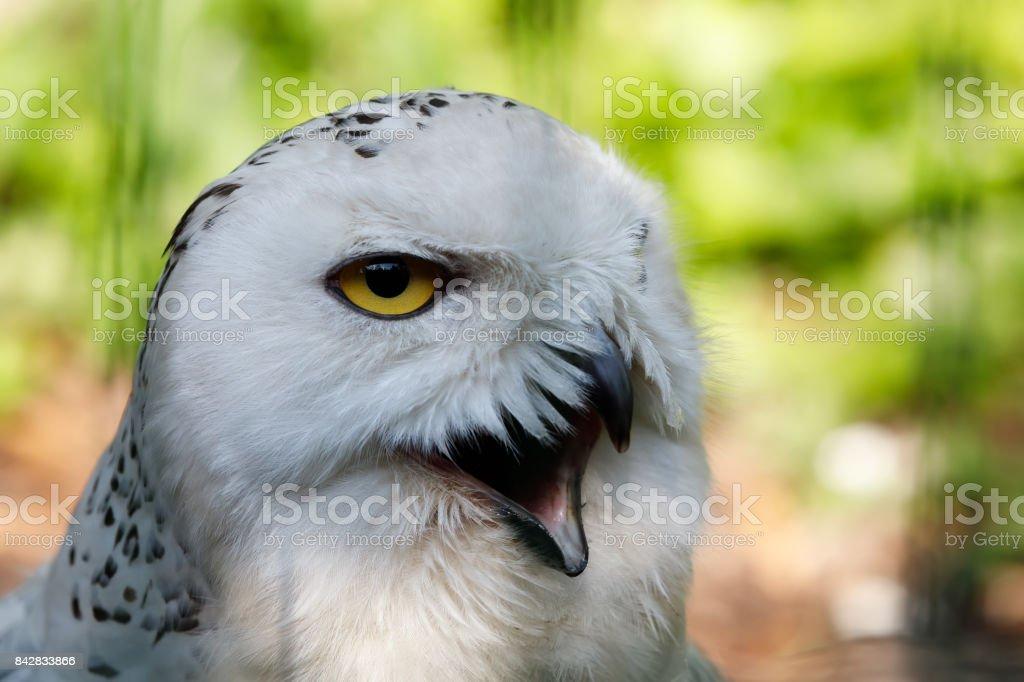 snowy owl (Bubo scandiacus) large white bird stock photo