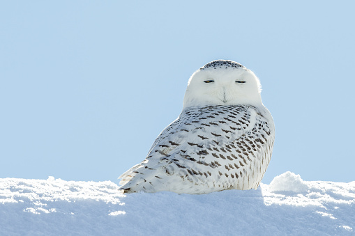 Snowy owl (bubo scandiacus) sitting it the snow and looking at camera with serious expression and eyes half closed.  Backlit subject with considerable detail.