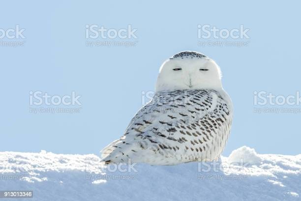 Snowy owl looking at camera in snow picture id913013346?b=1&k=6&m=913013346&s=612x612&h=dvmia1iy5wrtyooa7vefjvst1wyxnsrkkqsv muweo8=
