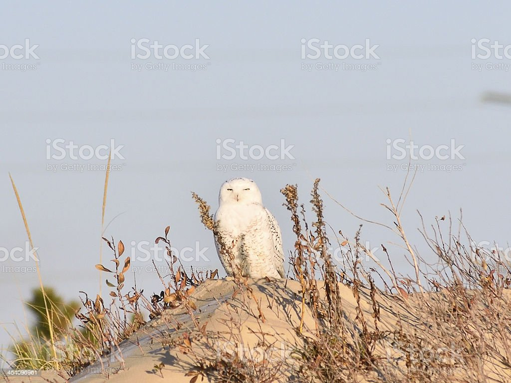 Snowy Owl Looking At Camera stock photo