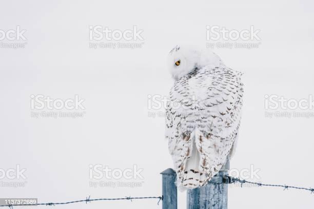 Snowy owl on a fence picture id1137372689?b=1&k=6&m=1137372689&s=612x612&h=zdakphypw9jg3i4bysk5eoe3gezwbj kjvwz3rvsirs=