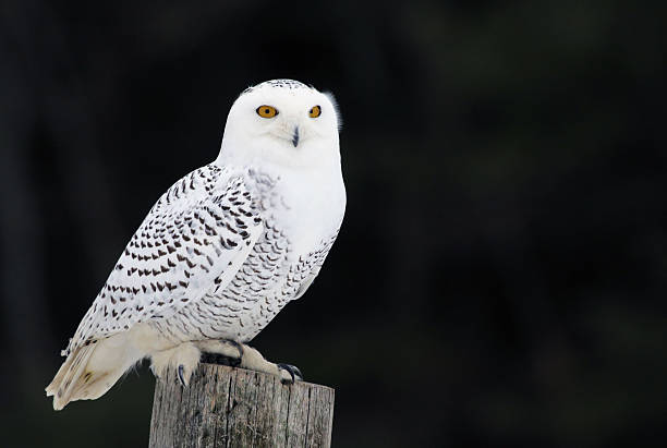 Snowy Owl on a Post stock photo