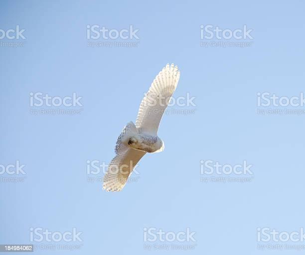 Snowy owl on blue from below and behind picture id184984062?b=1&k=6&m=184984062&s=612x612&h=3oenlv5ysgwk0apq2xtswf0djar9arnpo 7iknh5814=