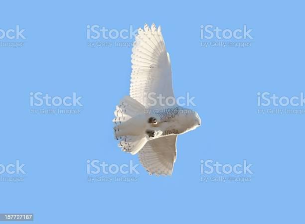 Snowy owl on blue from below picture id157727167?b=1&k=6&m=157727167&s=612x612&h=ew5nasnfqr7fwq hyas322 uvn2abueozvgqvbht 4c=