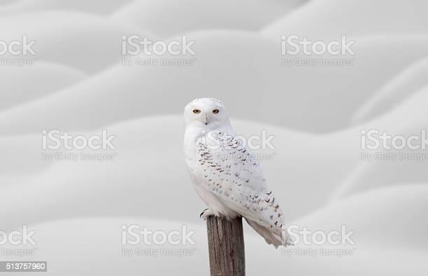Snowy owl on fence post picture id513757960?b=1&k=6&m=513757960&s=612x612&h=ekk6 v9gpyjs3kx3napb4h4pxgshjvoicntwbo92qhq=